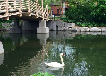 white swan in lake with wooden bridge across the lake